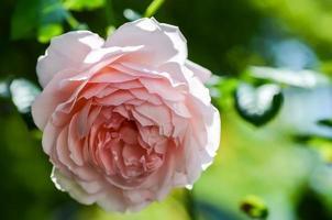 Abraham Darby Englisch Rose foto