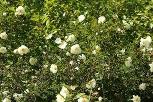 Hagebuttenbusch im Garten Sommer Frühling foto