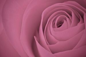 rosa Rosenmakro foto