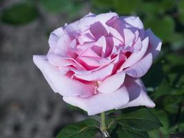 schöne Rose in voller Blüte foto
