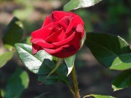 rote Rose foto