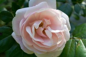 hellrosa englische Rose foto