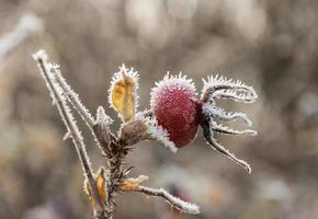 Nahaufnahme einer roten Hagebutte im Winter foto