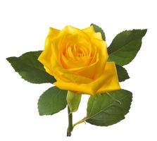 einzelne schöne gelbe Rose foto