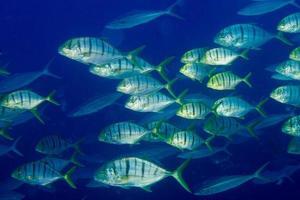in einer Fischschwarm unter Wasser foto