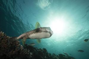Stachelschweinfisch (Diodon hystrix) im Roten Meer.