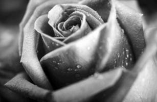 schwarz-weiße Rose foto