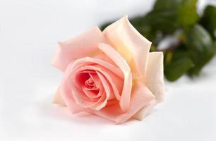 Ping Rose foto