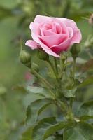 pinke Rose. foto