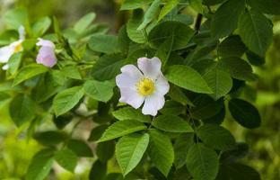 Blume der wilden Rose, wilde Rosenblüten foto