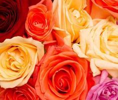 Rose Hintergrund foto