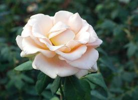 liebliche Rose foto