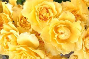 gelbe Rosen foto