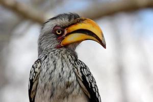 Porträt eines südlichen Gelbschnabelhornvogels