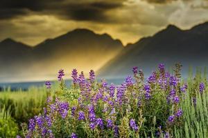 lila Lupinen in den Tetons