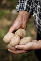 Nahaufnahme der männlichen Hände, die eine Kartoffel halten
