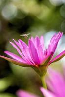 kleine Biene, großer Lotus