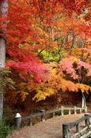 viele farbige Herbstblätter in Japan
