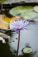 Lotus und Lotusblatt