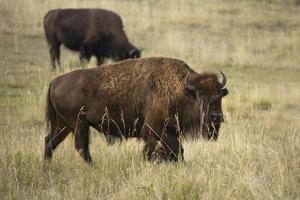 großer Bison, der in den Wiesen des Yellowstone-Nationalparks, Wyoming, stöbert.