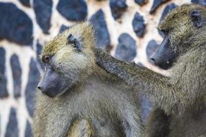 Pavian - Tarangire Nationalpark - Wildreservat in Tansania,