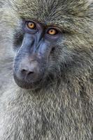 Kopfansicht des Anubuspavians im Tarangire-Nationalpark, Tansania