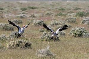 Sekretärsvögel jagen