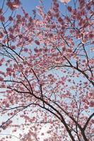 Mandelblüten foto
