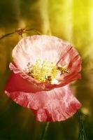 Biene auf Mohn, Sonne foto