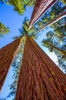 Mammutbäume in Kalifornien Ansicht von unten