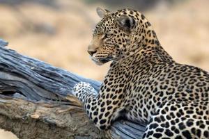 Leopard sitzt in einem Baum foto