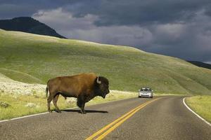 Straßenbüffel