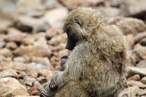 Baby und Mutter Olivenpavian (Papio Anubis)