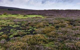 Heidekraut in voller Blüte, North York Moore, Yorkshire, Großbritannien.