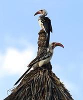 Rotschnabelhornvogel