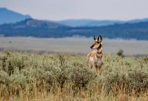 Gabelbockantilope