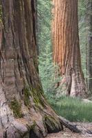 Redwood-Bäume, Seqouias, Hartriegelblüten foto