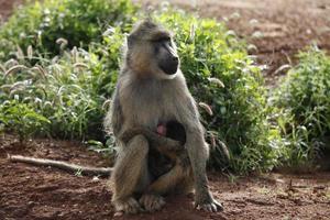 Affen im Tsavo East National Park foto