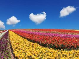 riesige Felder mit Gartenbutterblumen