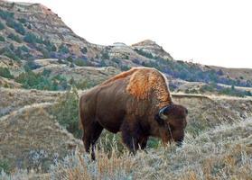 amerikanischer Bisonbüffelbulle, der im Theodore Roosevelt Nationalpark weidet