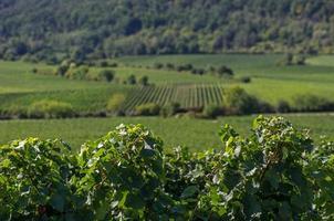 Weinberge im Rheinland Pfalz
