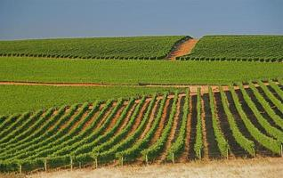 grüne Weinberge im Sommer in Südafrika