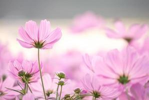 Kosmos Blumen