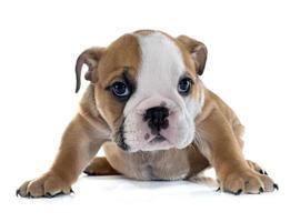 Welpe englische Bulldogge foto