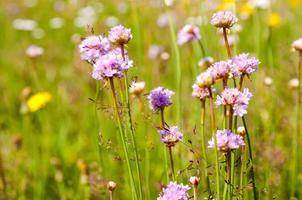 violette Blüten auf Wiesen
