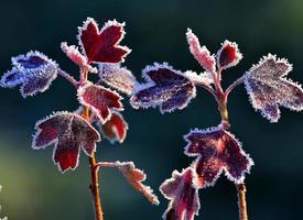 Raureif auf roten Blättern foto