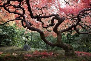 japanischer Ahornbaum im Herbst