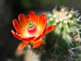 Kaktus, Blüte von Echinocereus coccineus Hybrid foto