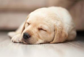 Labrador Welpe schläft foto
