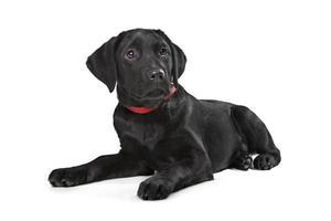 schwarzer Labrador Welpe foto
